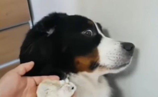 ハムスターを全力で嫌がるイヌ