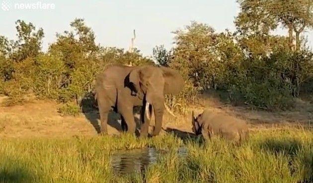 ゾウ対サイのケンカ