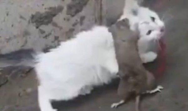 ネズミが猫を噛む