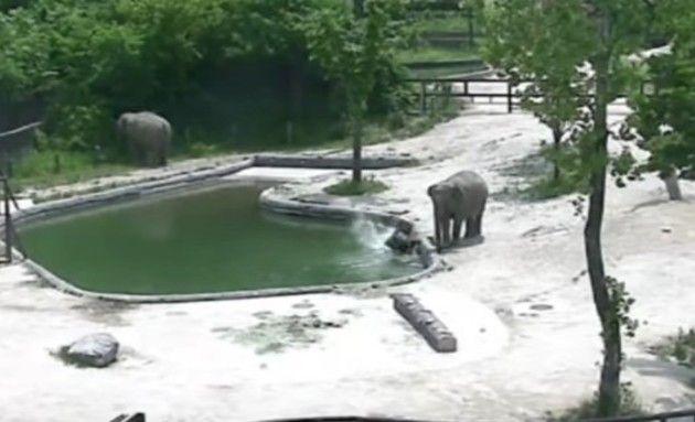 プールに落ちた仔ゾウ