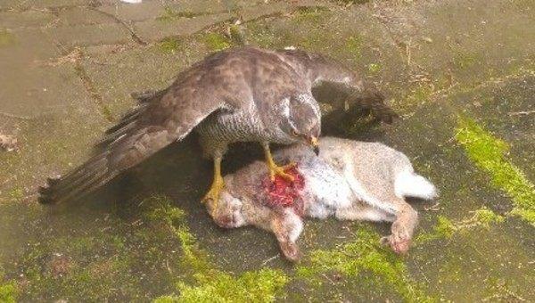 ウサギを食べるワシ