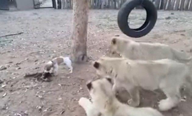 イヌとネコ科動物