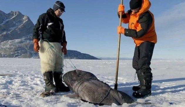 氷上から巨大ザメを釣る