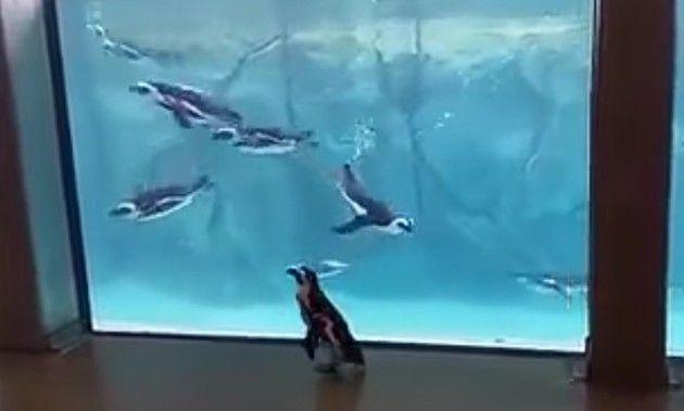 ペンギンを眺めるペンギン