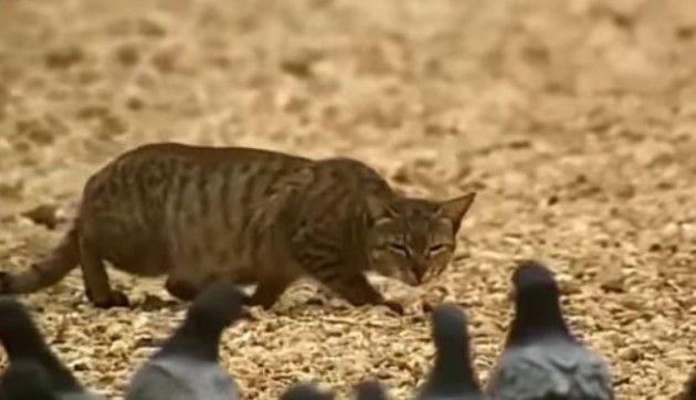 イエネコが獲物を狩る瞬間特集