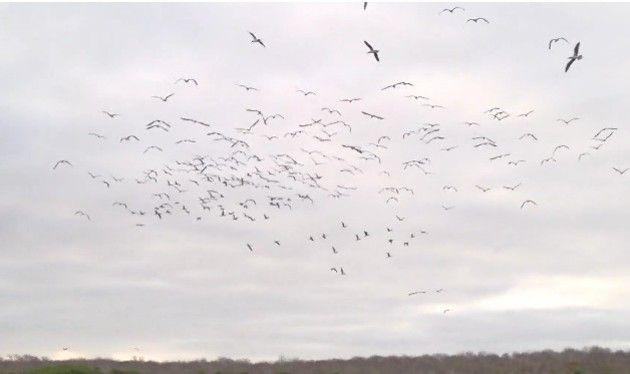 鳥が一斉に海にダイブ (2)