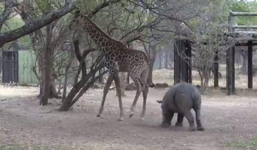 キリンの後ろ蹴りが際に炸裂