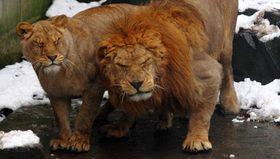 中国の動物園のライオン