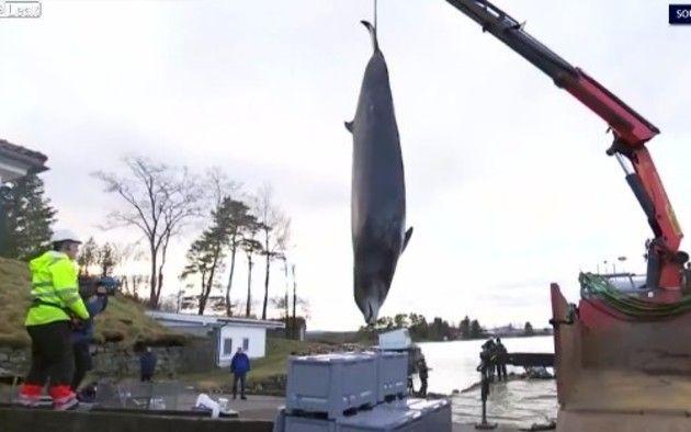 ビニールを食べて死んだクジラ