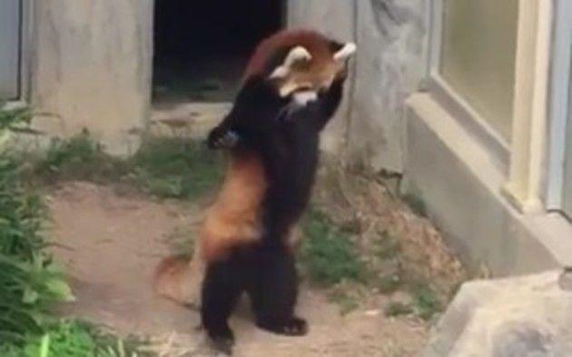 レッサーパンダが立ちあがる