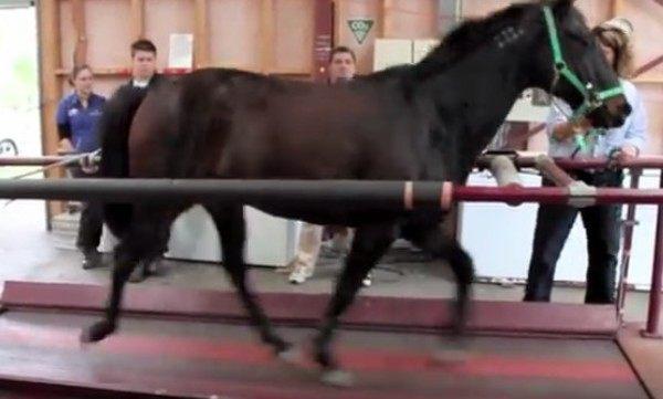 トレッドミルに乗る馬