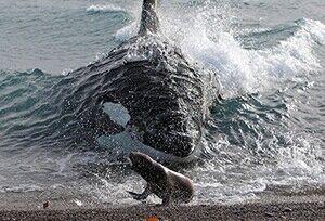シャチが砂浜までターゲットを追って食い殺すGIF、凄すぎる・・・