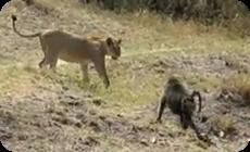 ライオン対ヒヒの厳しい結末動画