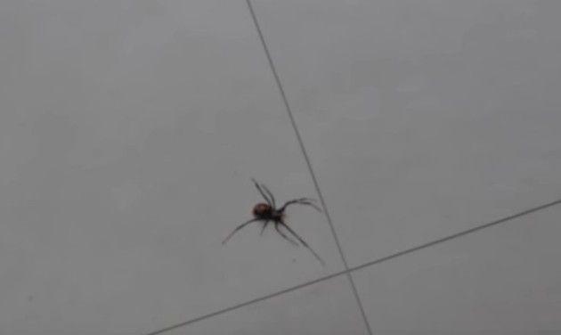 子持ちのクモ
