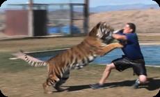 トラやライオンに囲まれて戯れる施設、動画 (1)