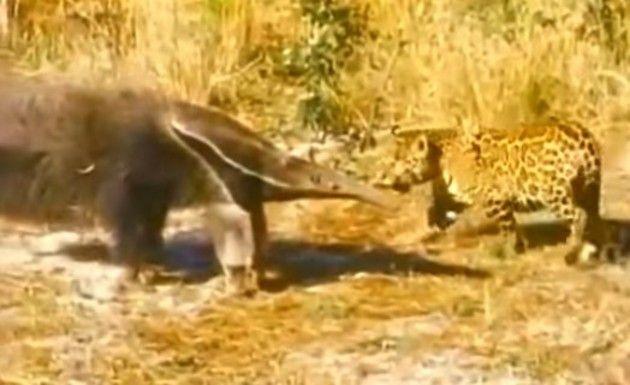 ジャガー対オオアリクイ