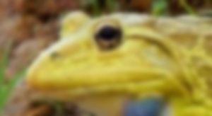 インドのウシガエルの体色
