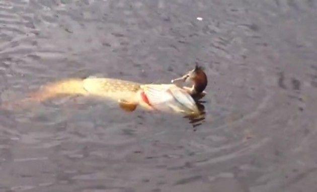 巨大魚ノーザンパイク