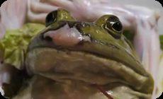 カエルの刺身、生け作り動画