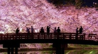 井之頭公園の桜が凄い