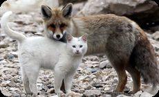 キツネと猫がなかよしの動画と画像