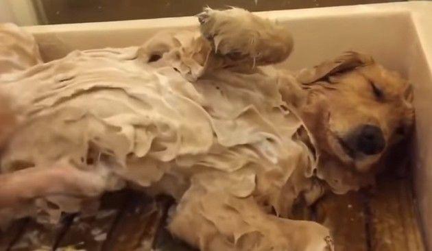 洗われるゴールデンレトリバー