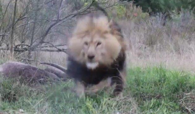 ライオンがカメラマンに突撃