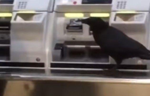 カラスが電車の乗車券を買う動画