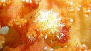きれいな貝の画像、イモガイなど (1)