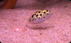 レーザーポインターを追う熱帯魚 (1)