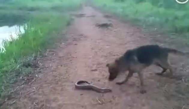 電気ウナギを捕まえたイヌ