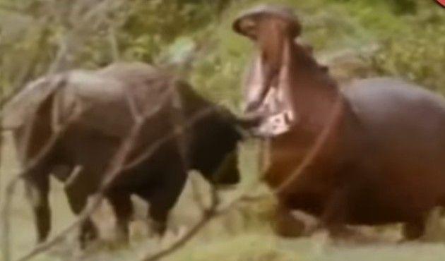 カバが他の動物を攻撃するところが怖い