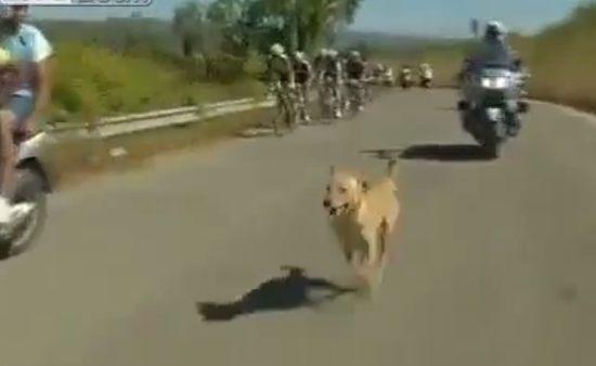 自転車レースの先導を切るワンコ
