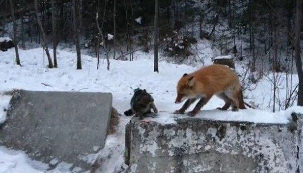 イエネコに自然界の掟を教えるキツネ