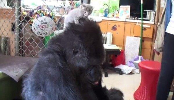 ローランドゴリラのココ、仔猫をもらう