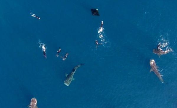 ジンベイザメを真上から撮影