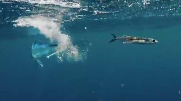 トビウオが飛んで逃げるも凄い映像 (2)
