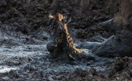 シマウマの仔を助けるサイ