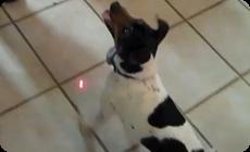 レーザーポインターを追う犬