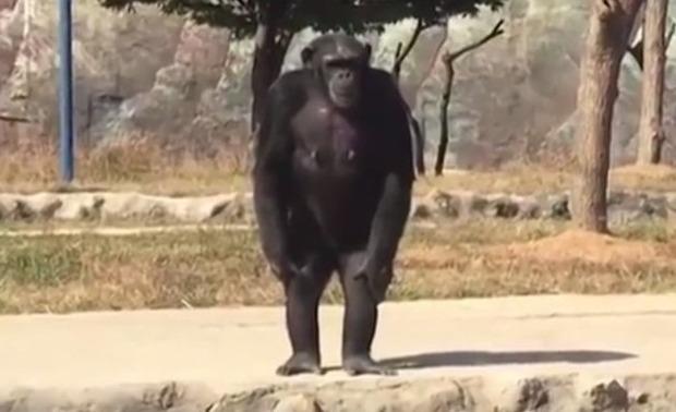 北朝鮮の動物園のチンパンジー