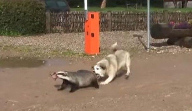 アナグマの尻尾を噛むイヌ