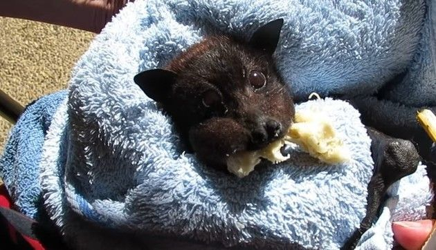 コウモリがバナナを食う