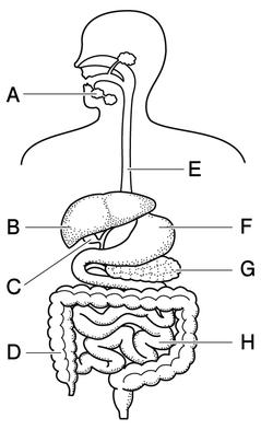 図 消化器官