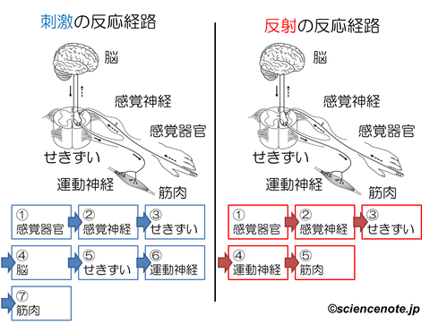 解説 刺激反射の経路_rev