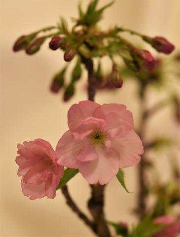 最初の開花1