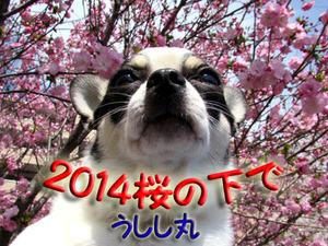 2014-Sakura-1
