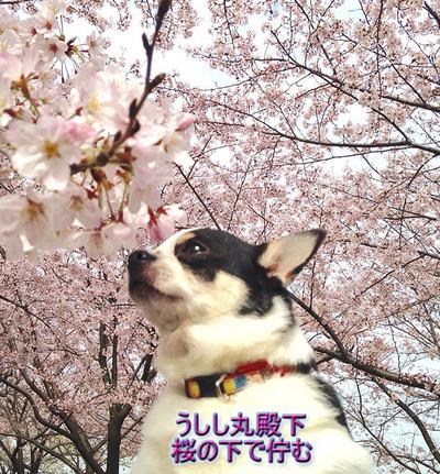 20160403牛桜