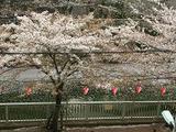散りかけ桜