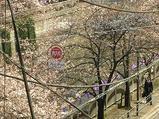 目黒川4分咲き桜