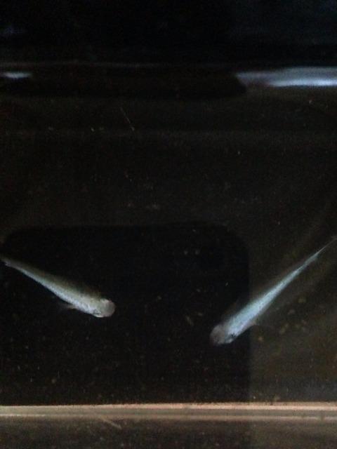 青幹之メダカフルボディ光の特徴